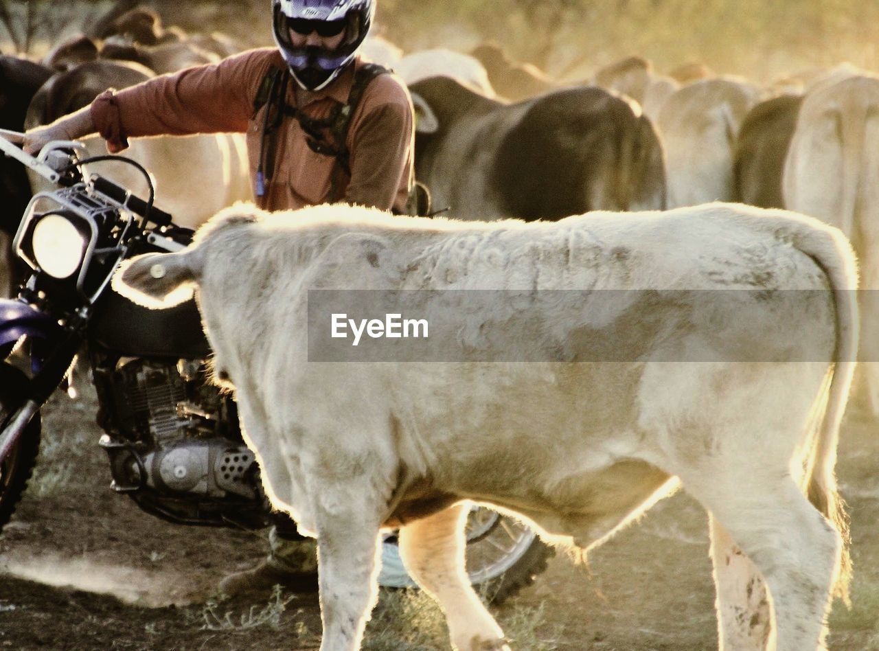 Close-up of man and cow