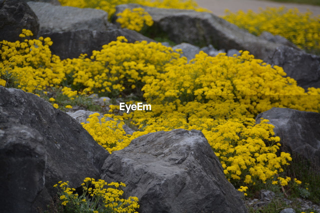 yellow, flower, nature, no people, beauty in nature, tranquility, day, outdoors, plant, mountain, scenics, landscape, close-up, freshness