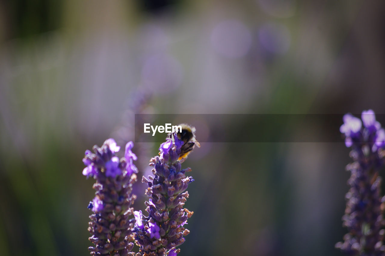 flowering plant, flower, purple, plant, beauty in nature, fragility, animals in the wild, vulnerability, invertebrate, animal themes, animal, animal wildlife, close-up, growth, freshness, one animal, insect, petal, nature, day, lavender, flower head, no people, pollination