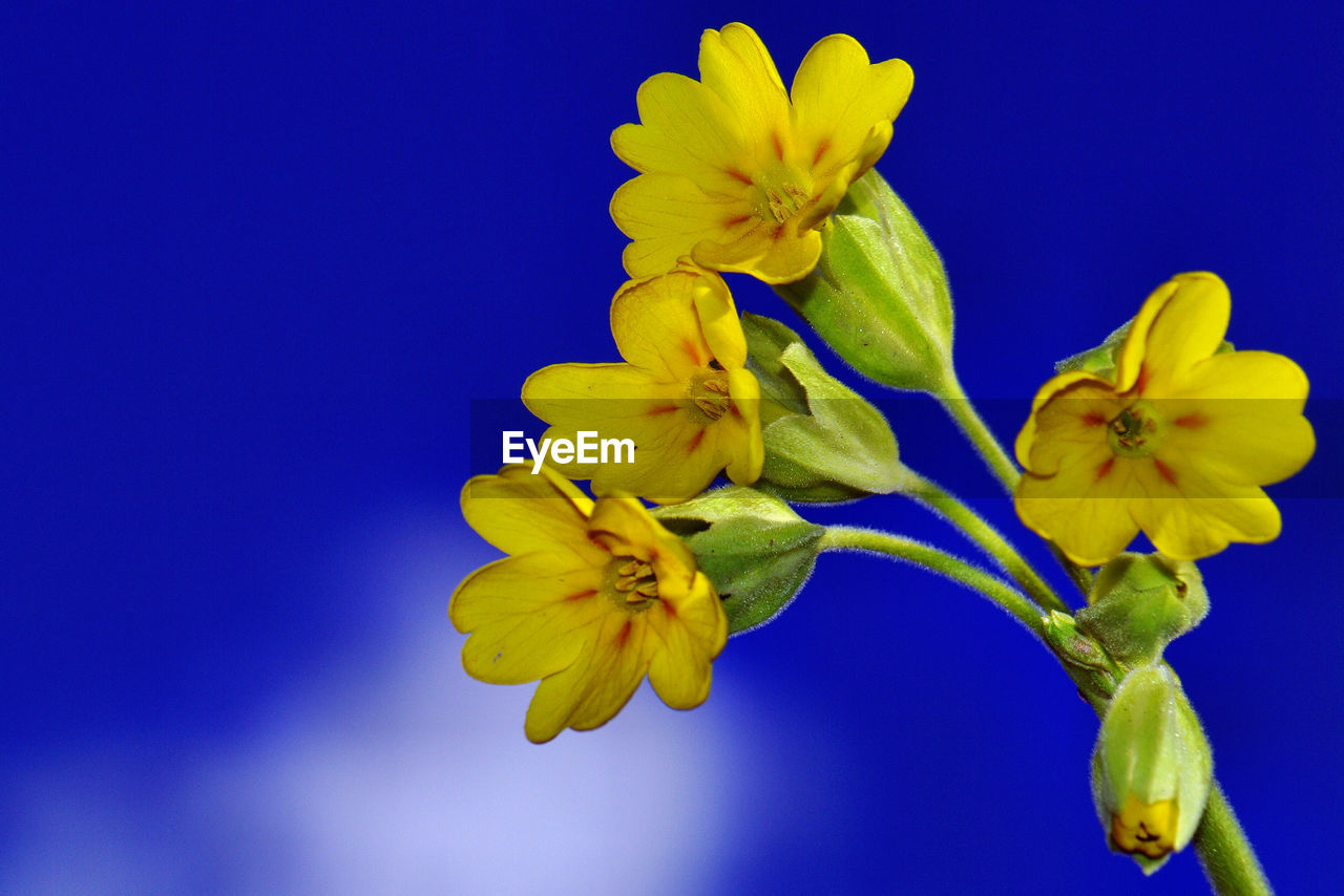 flower, petal, fragility, beauty in nature, yellow, flower head, freshness, blue, nature, blossom, growth, springtime, stamen, no people, close-up, studio shot, day, day lily, iris - plant, outdoors