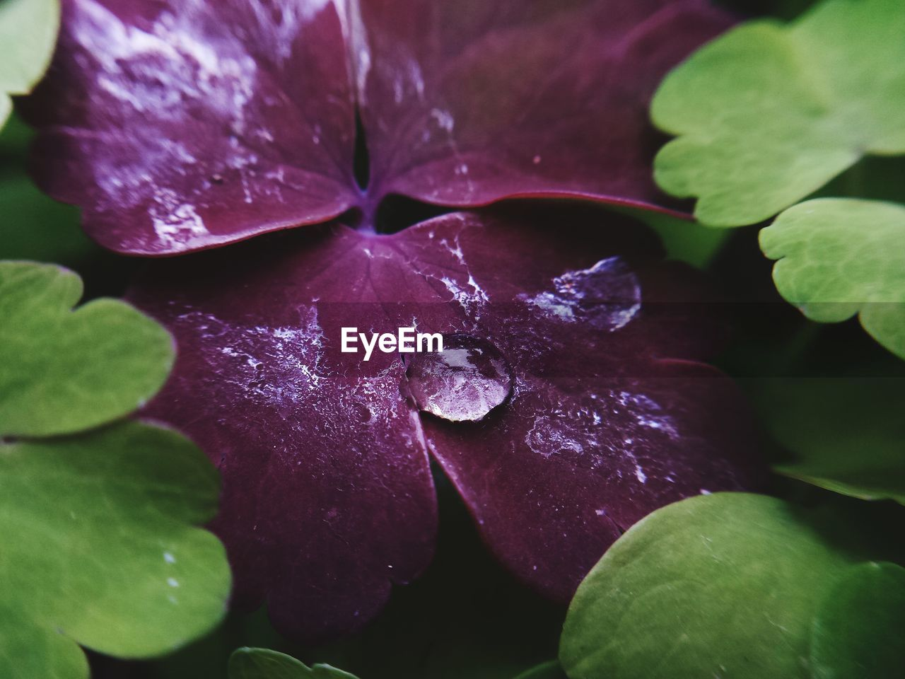 plant, plant part, leaf, beauty in nature, close-up, freshness, growth, flower, flowering plant, purple, drop, vulnerability, nature, fragility, wet, no people, petal, water, inflorescence, flower head, outdoors, dew, raindrop, purity