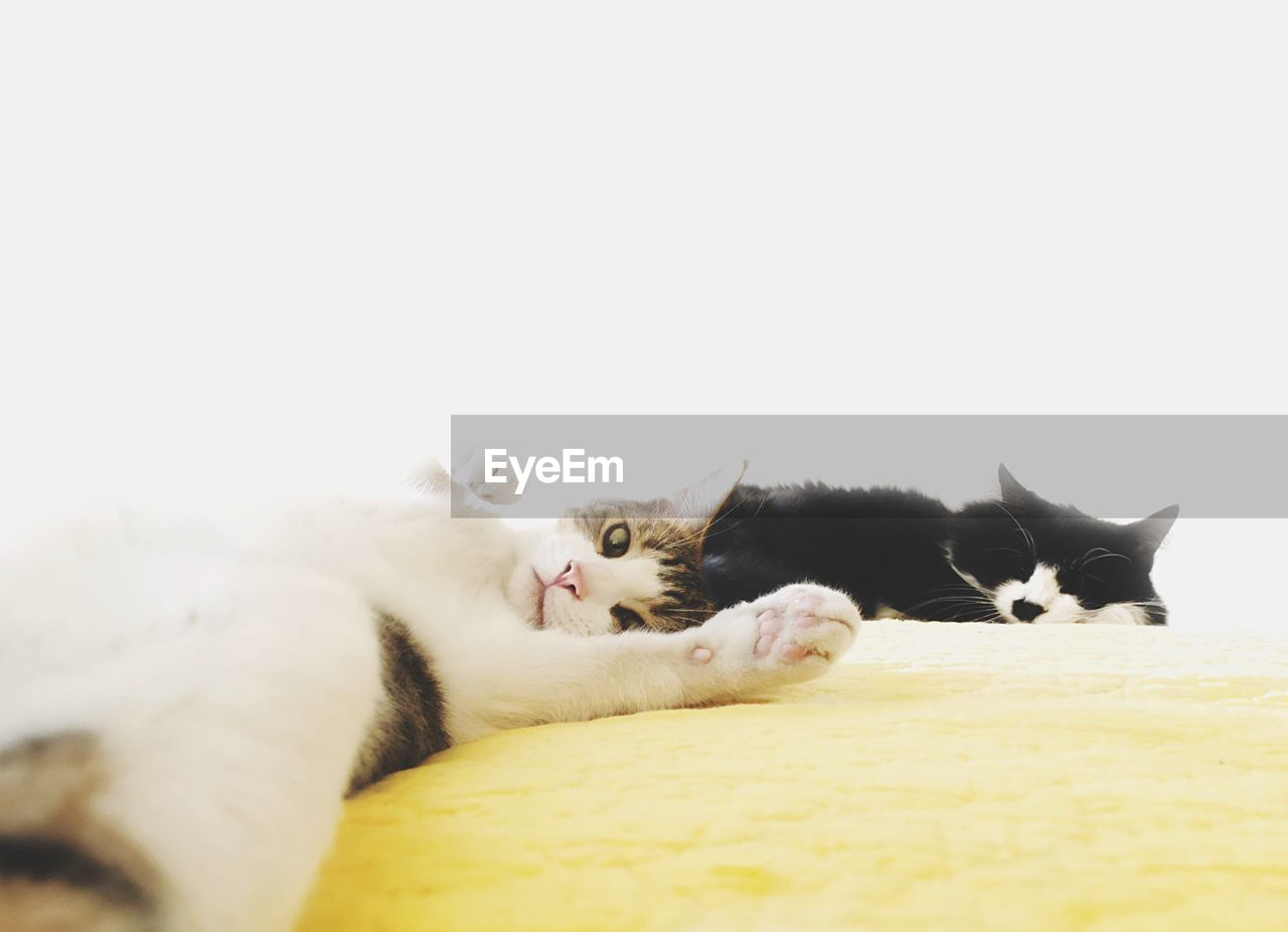 domestic animals, cat, mammal, pets, feline, domestic cat, animal, domestic, animal themes, vertebrate, relaxation, copy space, lying down, indoors, group of animals, white color, no people, bed, portrait, whisker