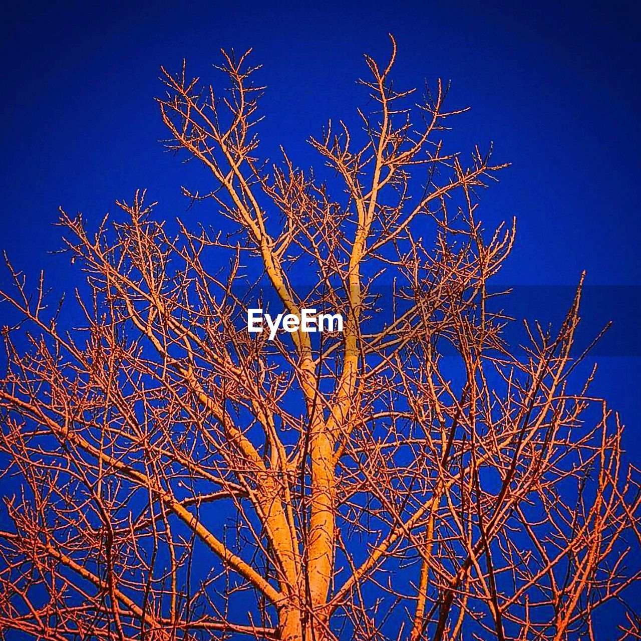 blue, bare tree, branch, nature, tree, low angle view, beauty in nature, sky, no people, outdoors, clear sky, winter, cold temperature, day, close-up