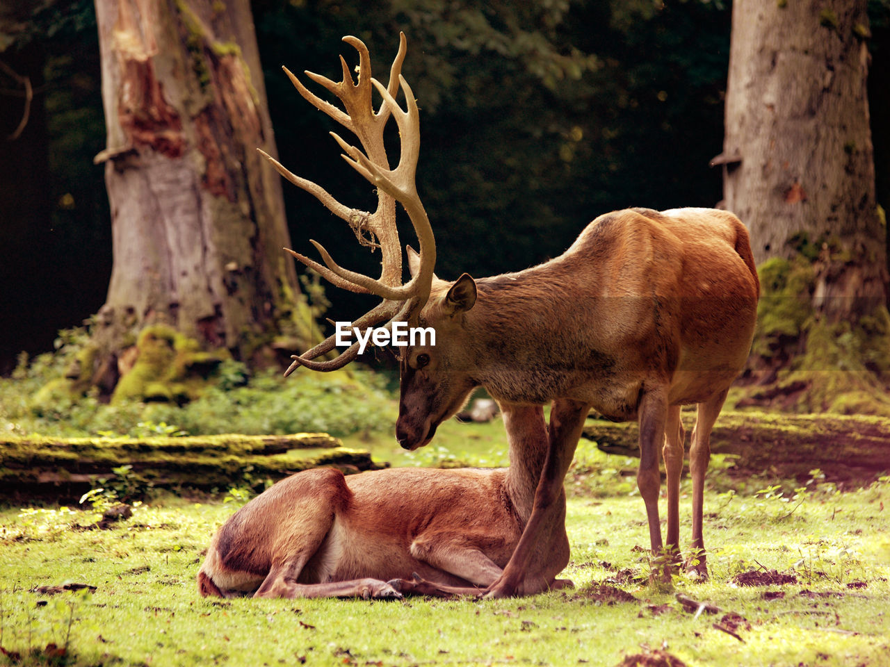 animal themes, animals in the wild, deer, mammal, antler, animal wildlife, no people, stag, tree trunk, one animal, nature, outdoors, tree, day