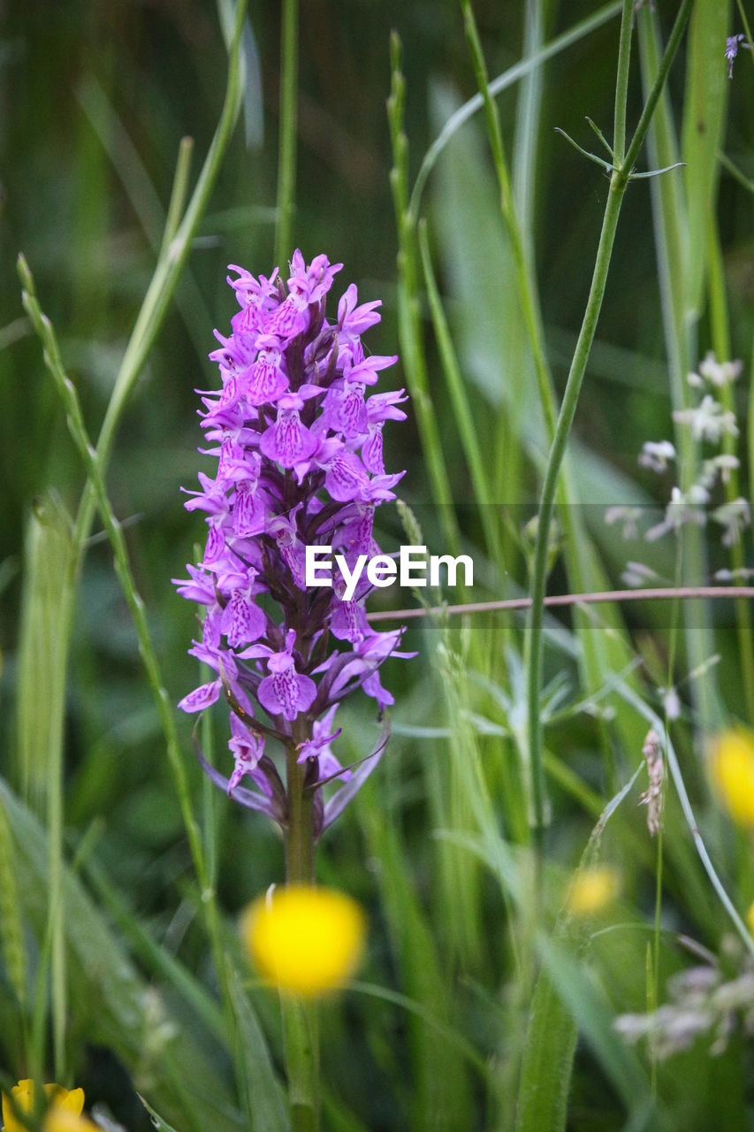 flowering plant, flower, plant, vulnerability, freshness, beauty in nature, fragility, growth, petal, close-up, nature, purple, selective focus, no people, inflorescence, flower head, day, field, land, springtime