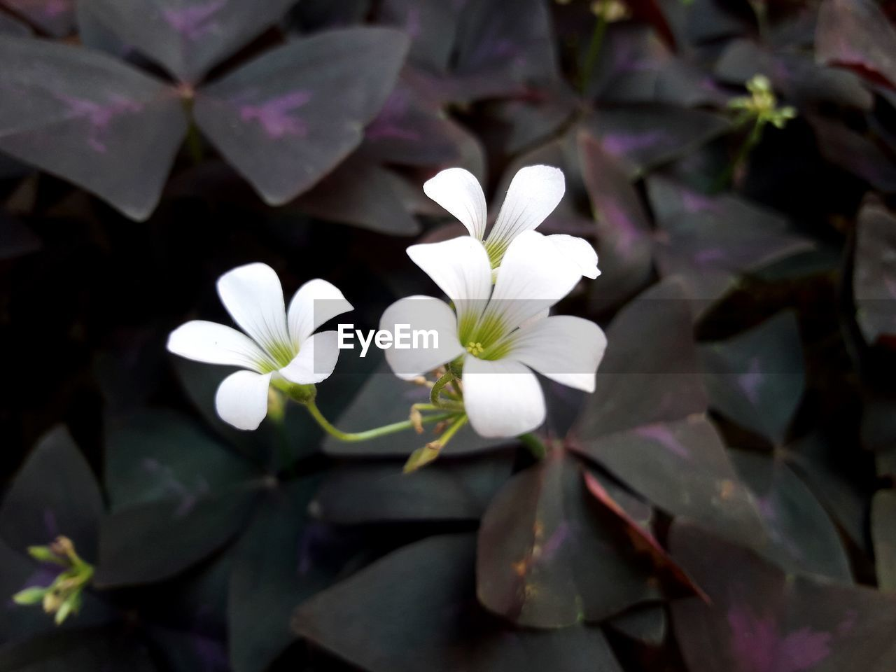 flowering plant, plant, growth, flower, beauty in nature, petal, fragility, freshness, vulnerability, close-up, flower head, white color, inflorescence, plant part, no people, leaf, nature, day, focus on foreground, botany, pollen, purple