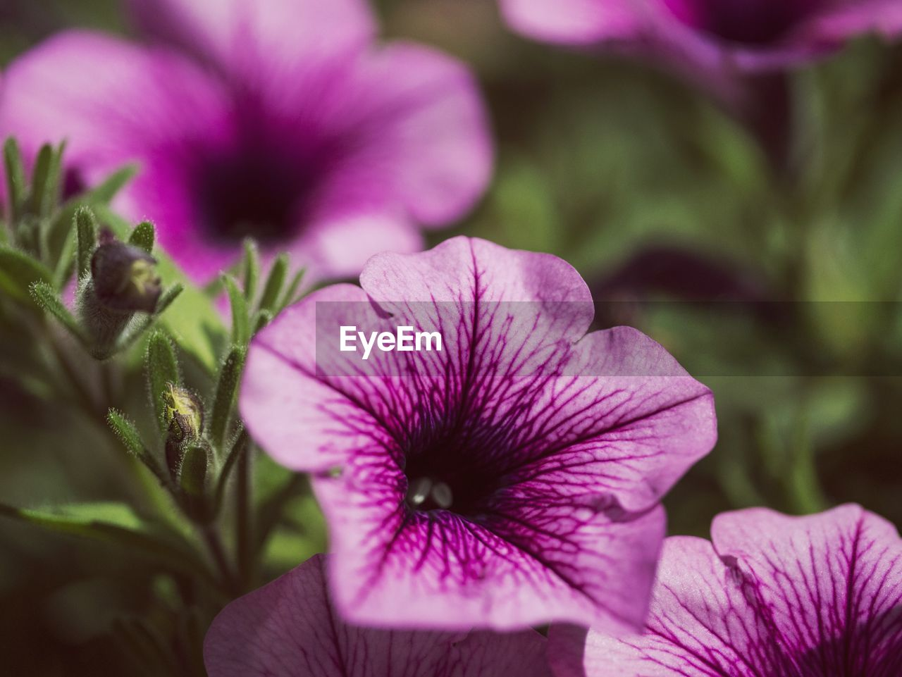 Close-up of purple petunia flowers blooming outdoors