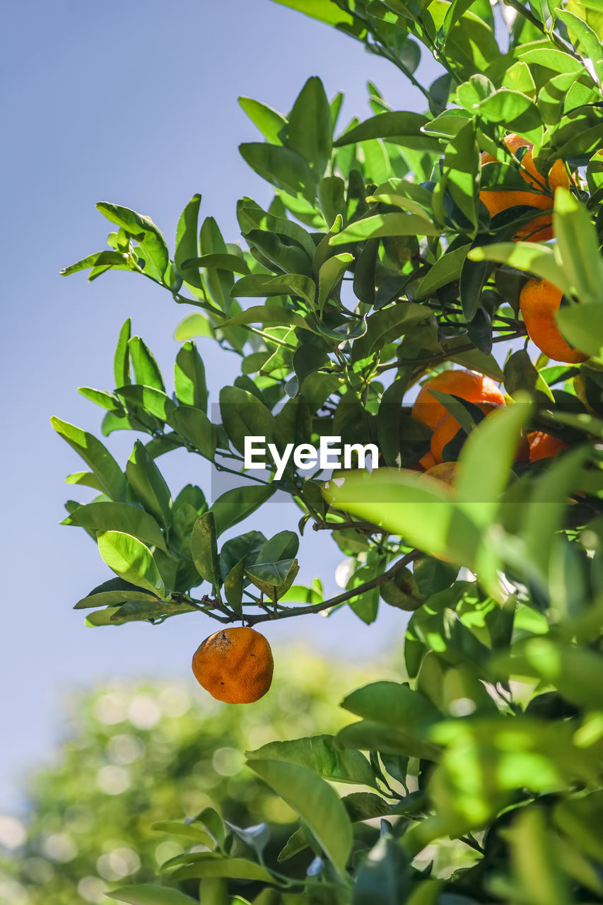 plant part, leaf, growth, plant, fruit, food, healthy eating, food and drink, tree, green color, nature, orange color, freshness, fruit tree, no people, orange tree, citrus fruit, low angle view, orange - fruit, orange, outdoors, ripe