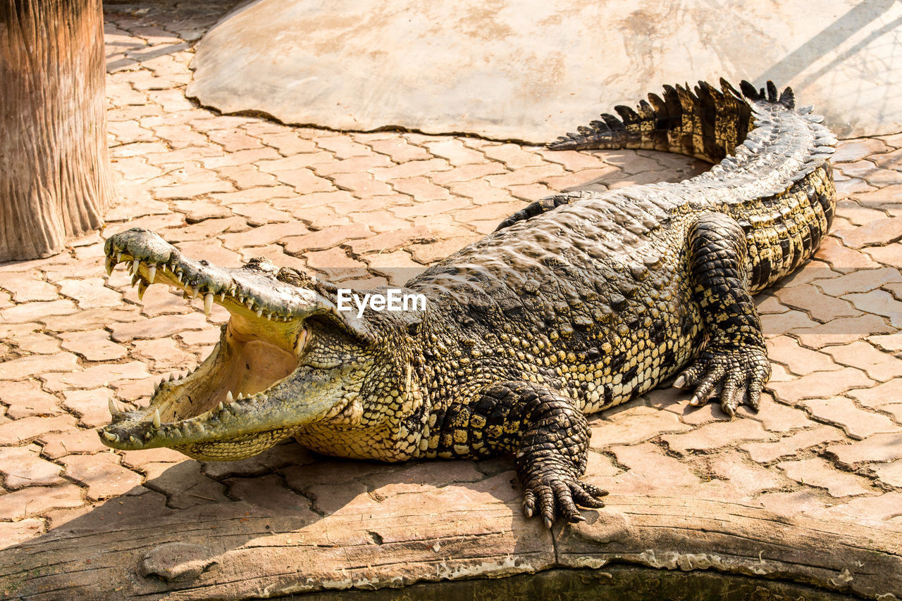 animal themes, reptile, animal, animals in the wild, one animal, animal wildlife, vertebrate, crocodile, nature, no people, day, sunlight, relaxation, outdoors, mouth open, mouth, warning sign, sign, high angle view, solid, animal mouth