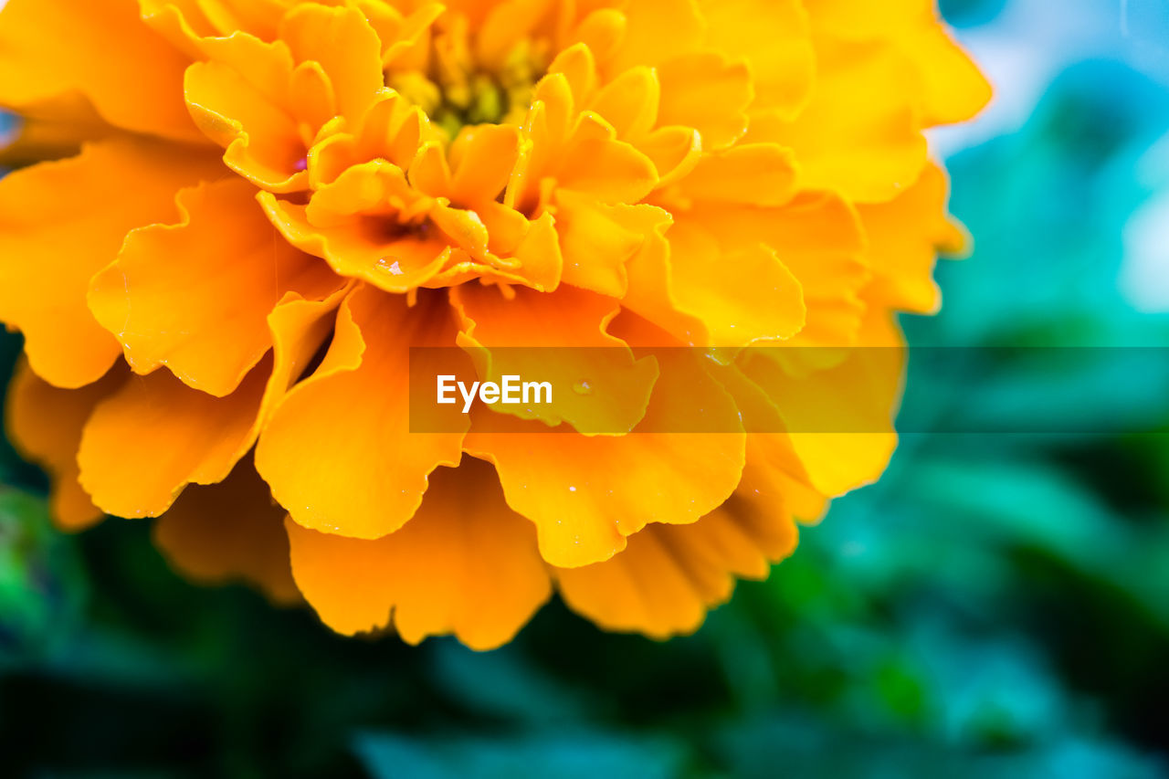 Close-up of marigold booming in park