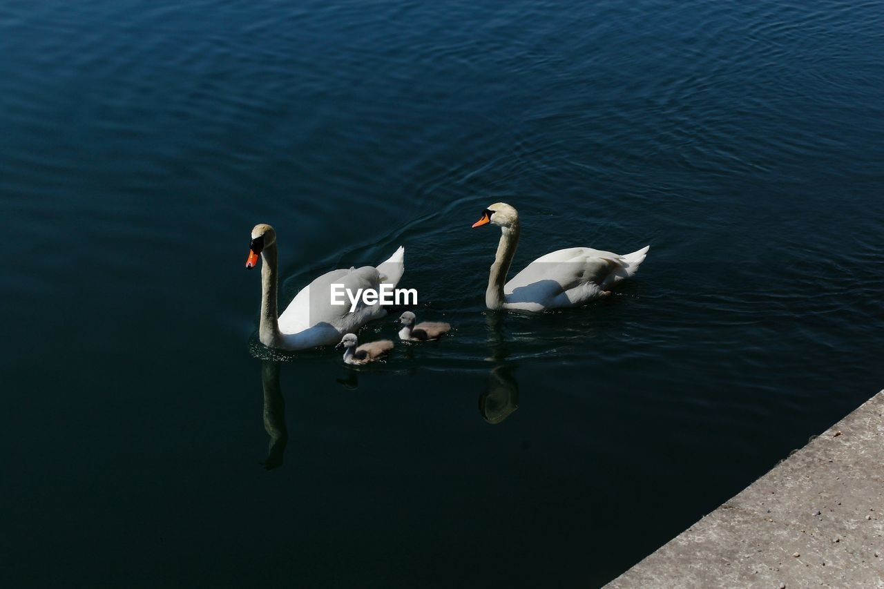 water, group of animals, bird, lake, animals in the wild, animal themes, animal, swimming, swan, animal wildlife, vertebrate, high angle view, nature, water bird, no people, day, two animals, young animal, cygnet, animal family, outdoors, floating on water