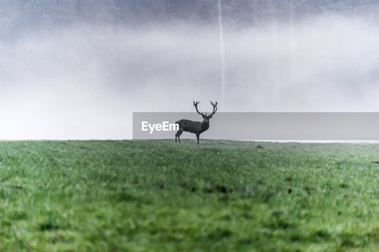one animal, field, animal themes, grass, animals in the wild, deer, nature, landscape, mammal, no people, stag, day, outdoors, animal wildlife, beauty in nature, sky