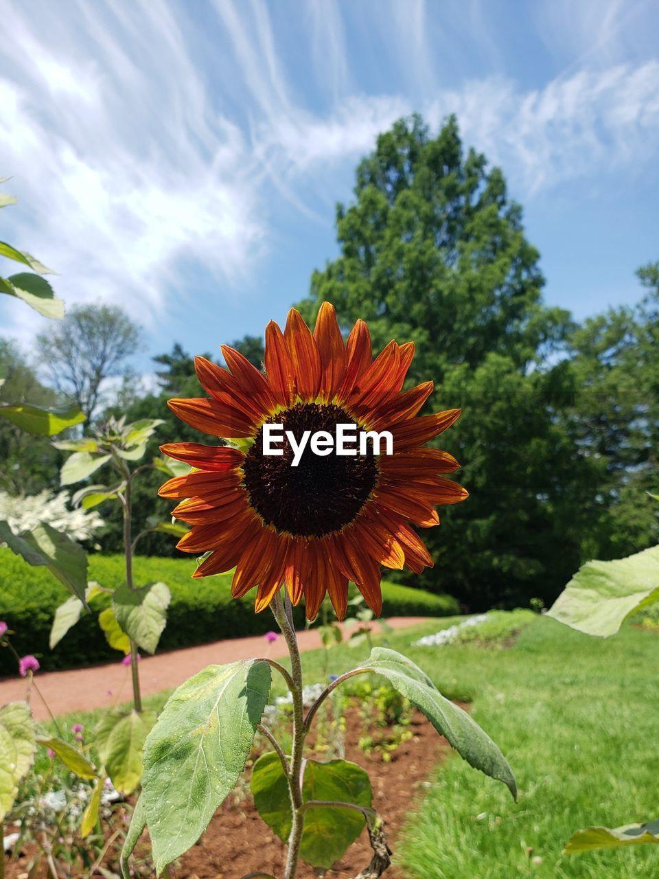 plant, flowering plant, flower, beauty in nature, vulnerability, growth, fragility, flower head, petal, freshness, inflorescence, nature, close-up, sky, focus on foreground, day, orange color, field, cloud - sky, sunflower, no people, pollen, outdoors