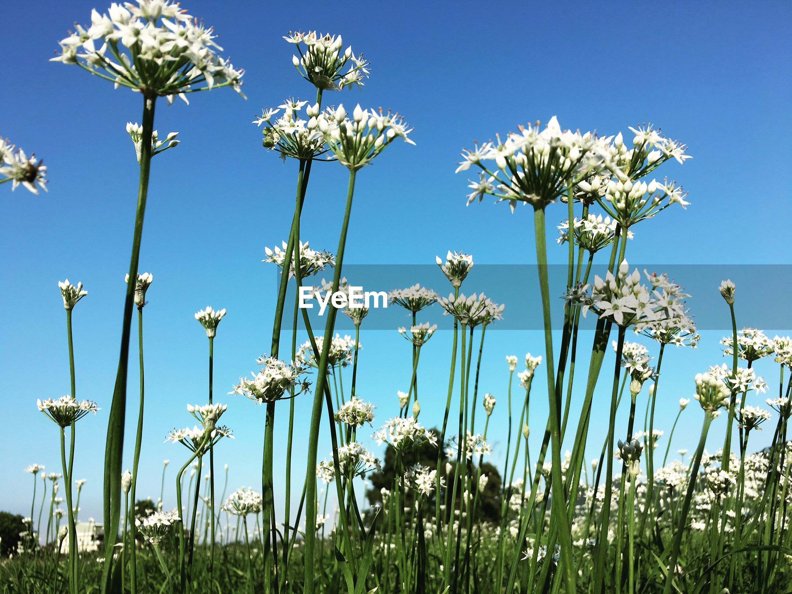 growth, stem, flower, low angle view, blue, clear sky, plant, fragility, beauty in nature, freshness, nature, springtime, scenics, uncultivated, in bloom, day, botany, field, tranquil scene, tranquility, tall - high, sky, outdoors, dandelion, wildflower, non-urban scene, summer, softness, daisies, blossom, flowering