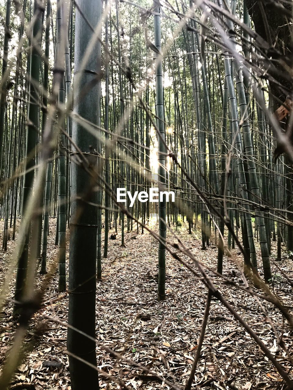 forest, tree, tree trunk, day, bamboo grove, outdoors, bamboo - plant, nature, sunlight, tranquility, branch, beauty in nature, growth, no people