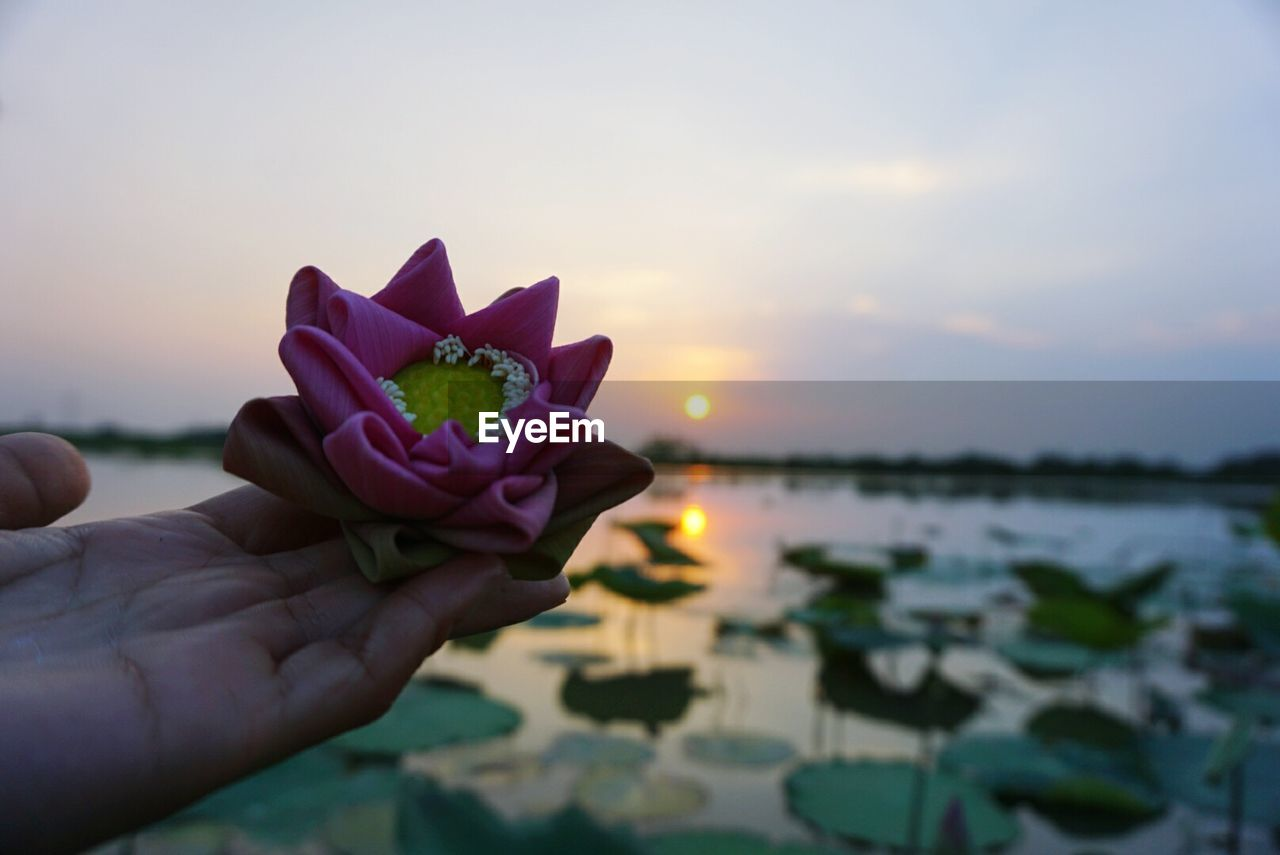 flower, water, beauty in nature, nature, petal, human hand, sunset, outdoors, rose - flower, sky, fragility, pink color, focus on foreground, close-up, sea, holding, human body part, flower head, one person, freshness, horizon over water, lotus water lily, day, frangipani, people