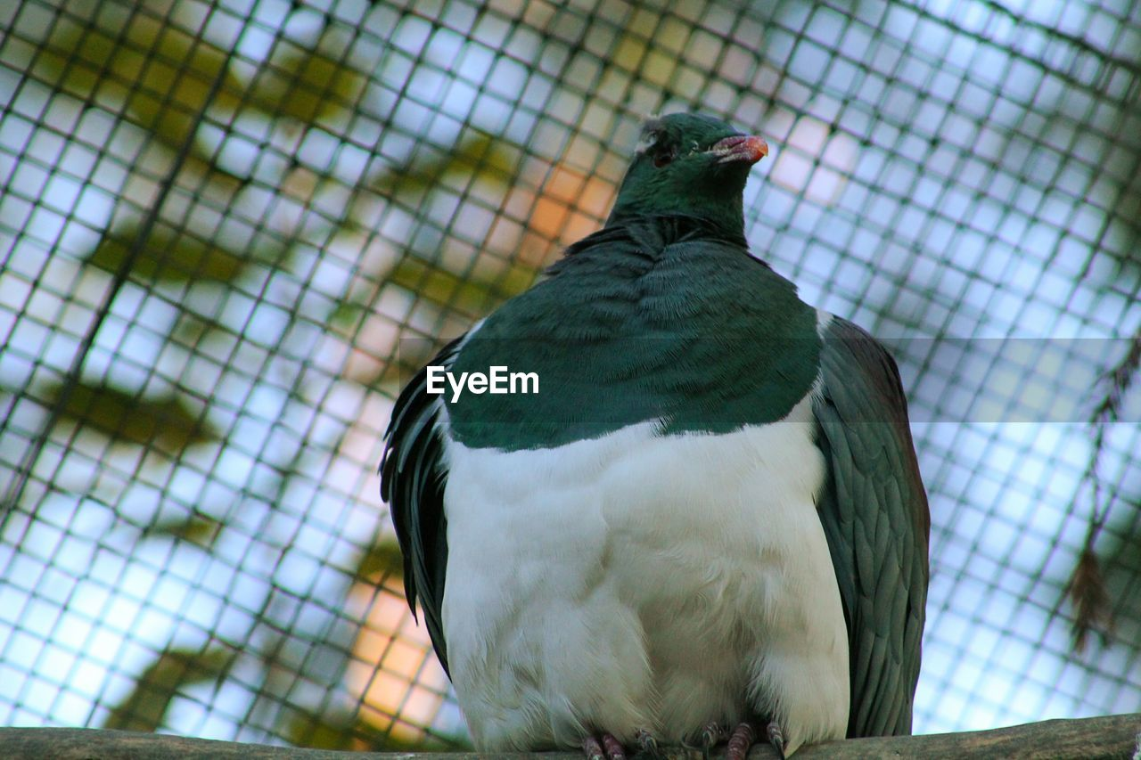 bird, animal themes, one animal, animals in the wild, perching, animal wildlife, cage, focus on foreground, day, no people, feather, green color, close-up, nature, animal crest, outdoors, parrot, beauty in nature