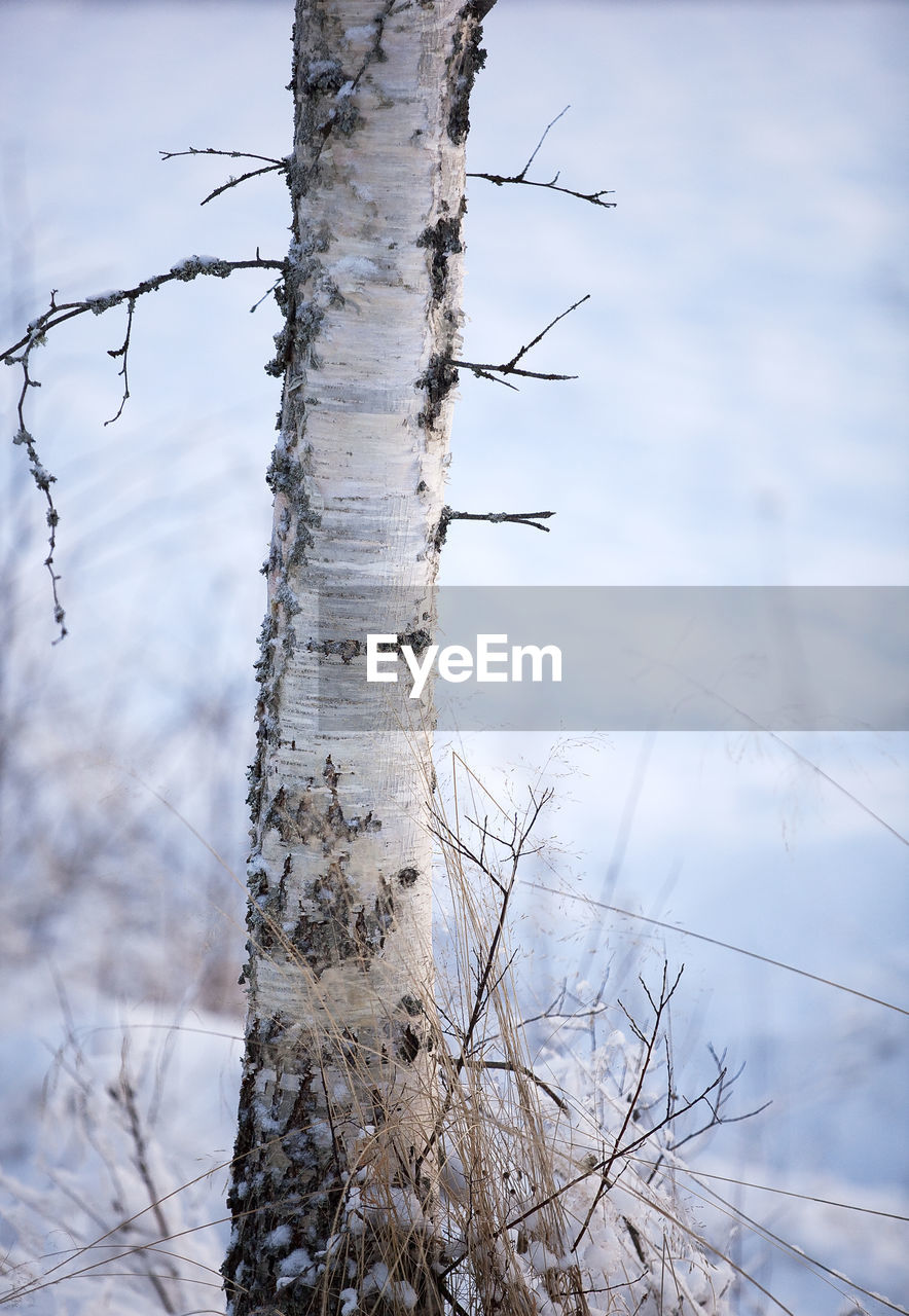 tree, plant, cold temperature, nature, focus on foreground, winter, tranquility, day, trunk, tree trunk, snow, no people, sky, bare tree, land, branch, outdoors, non-urban scene, beauty in nature, dead plant