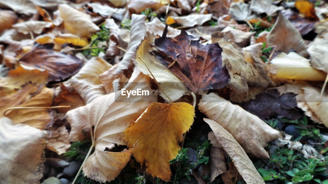 autumn, leaf, dry, change, leaves, high angle view, day, nature, no people, outdoors, fragility, close-up, maple leaf, beauty in nature, maple