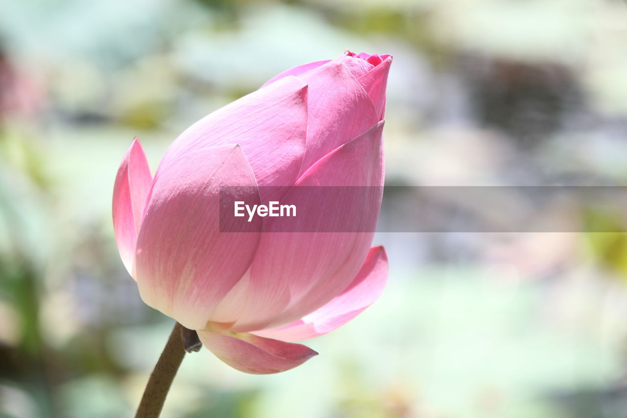 flower, pink color, flowering plant, vulnerability, fragility, beauty in nature, petal, close-up, plant, freshness, focus on foreground, growth, inflorescence, flower head, water lily, day, nature, no people, plant stem, lotus water lily, springtime