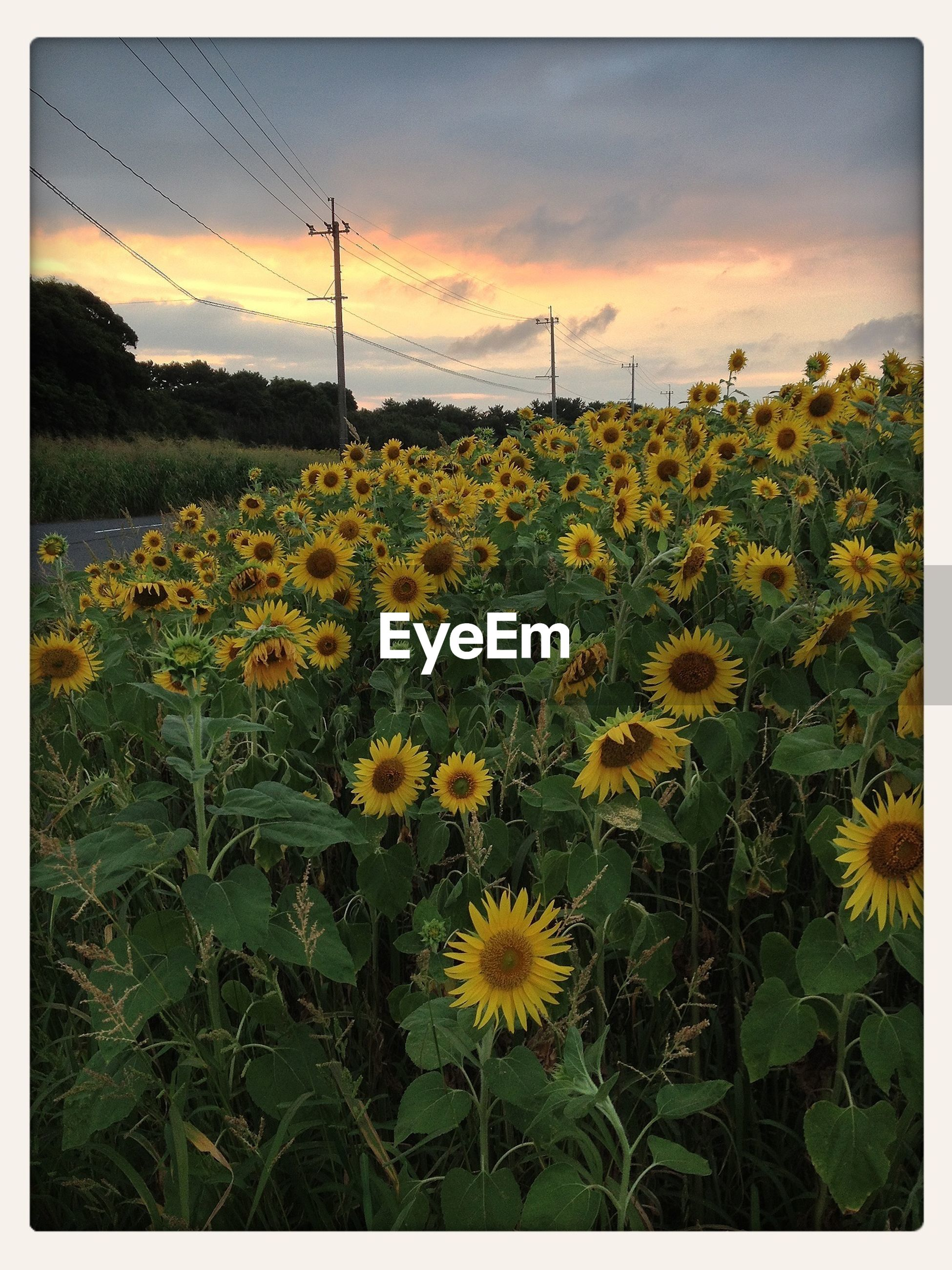 flower, freshness, growth, field, beauty in nature, sky, yellow, fragility, nature, landscape, plant, transfer print, tranquil scene, blooming, rural scene, scenics, tranquility, cloud - sky, auto post production filter, stem