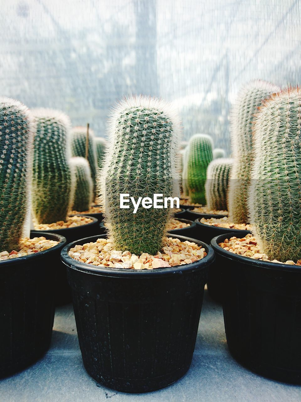 cactus, succulent plant, potted plant, growth, plant, no people, thorn, indoors, nature, close-up, day, window, focus on foreground, green color, beauty in nature, barrel cactus, spiked, sharp, natural pattern, houseplant, flower pot