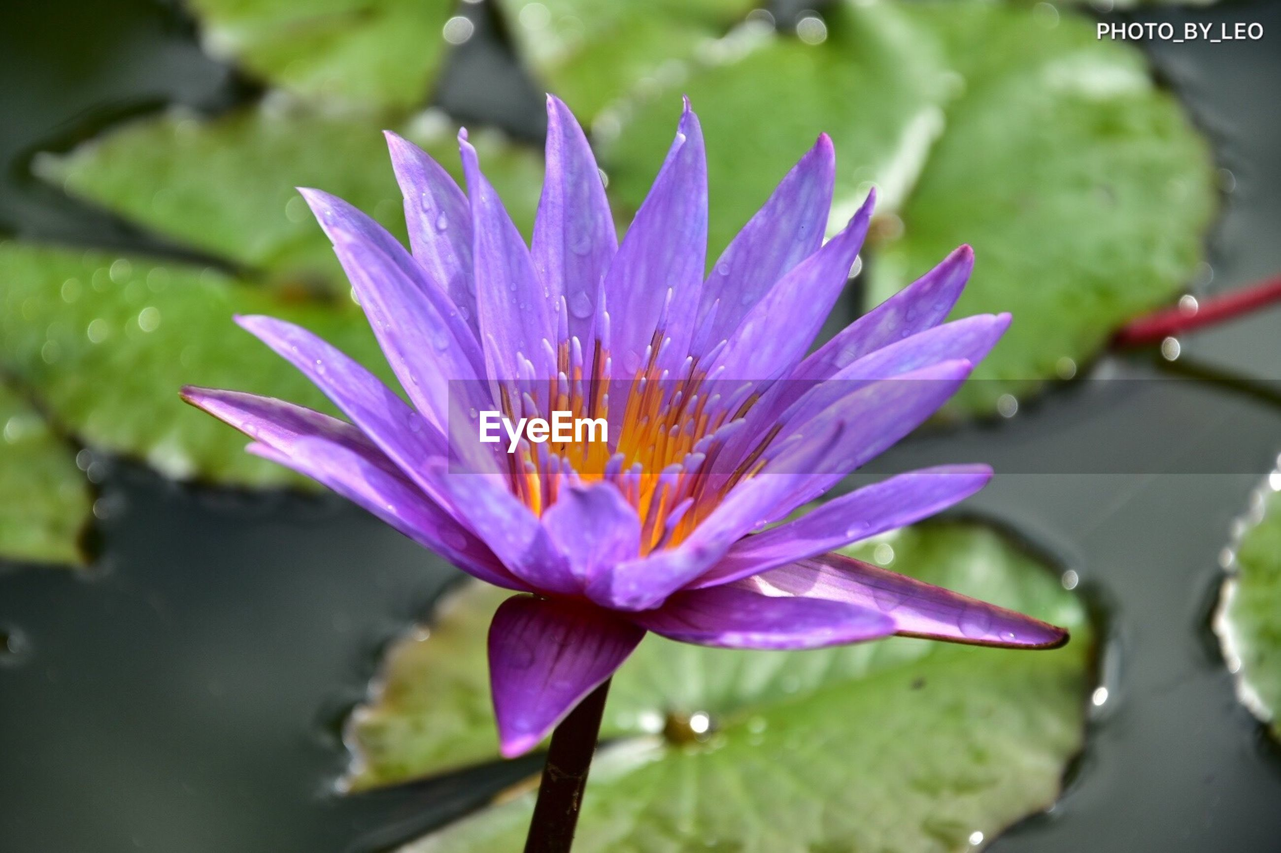 flower, beauty in nature, petal, freshness, nature, fragility, growth, flower head, purple, plant, no people, outdoors, close-up, day, water, water lily, leaf, blooming, lotus water lily