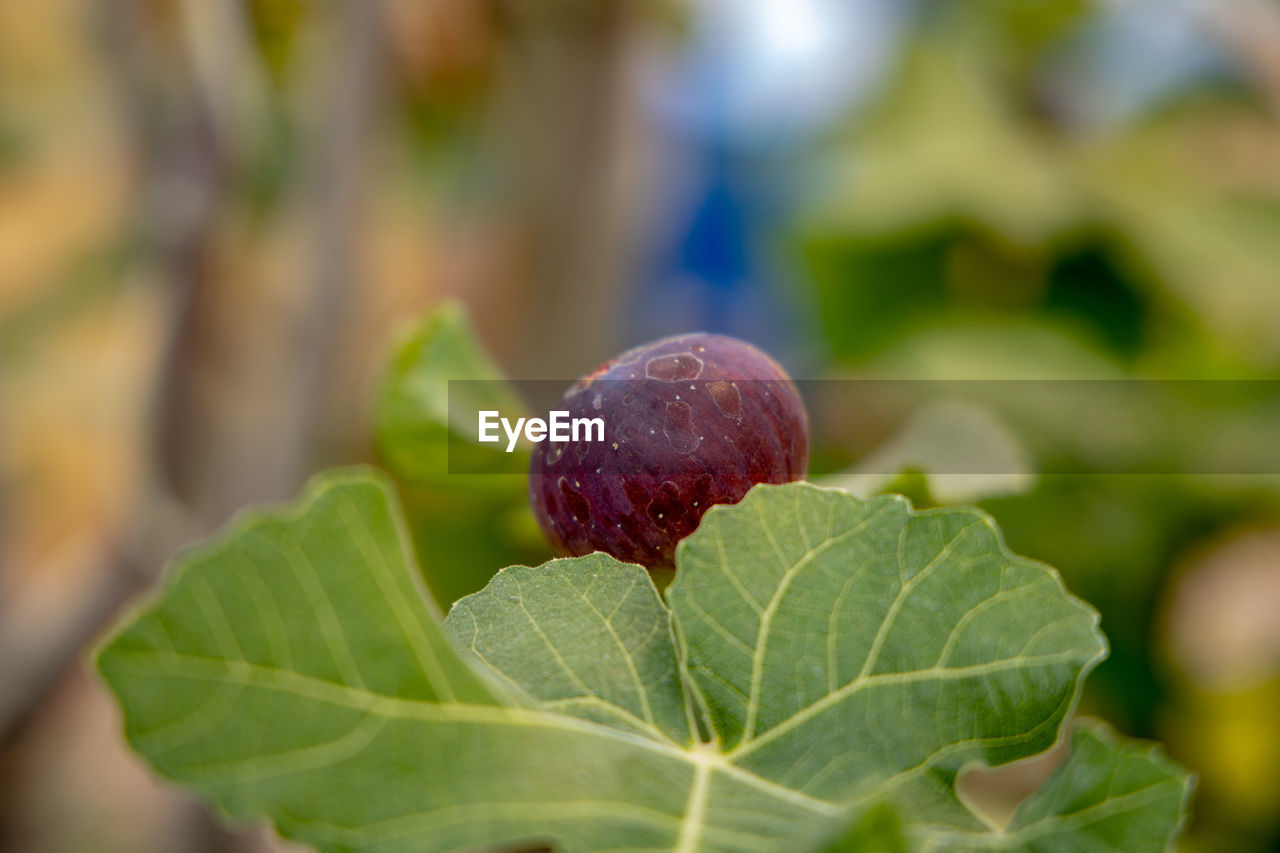 leaf, plant part, food and drink, growth, food, close-up, healthy eating, plant, freshness, fruit, green color, nature, selective focus, day, no people, wellbeing, focus on foreground, outdoors, beauty in nature, red, ripe