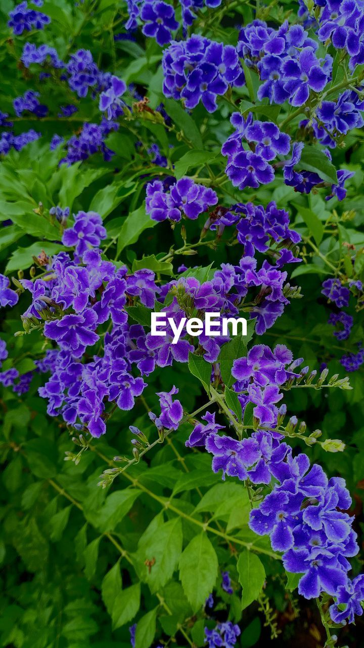 flowering plant, flower, vulnerability, plant, fragility, beauty in nature, growth, freshness, close-up, petal, plant part, purple, leaf, nature, inflorescence, flower head, day, no people, green color, outdoors, bunch of flowers, lilac