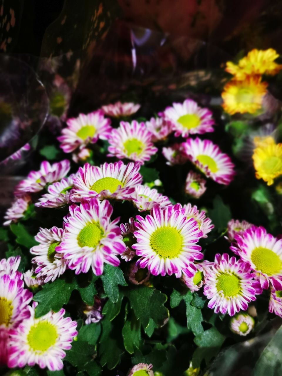 flower, flowering plant, plant, fragility, vulnerability, beauty in nature, petal, flower head, freshness, inflorescence, close-up, growth, nature, pink color, outdoors, leaf, no people, plant part, day, multi colored, purple
