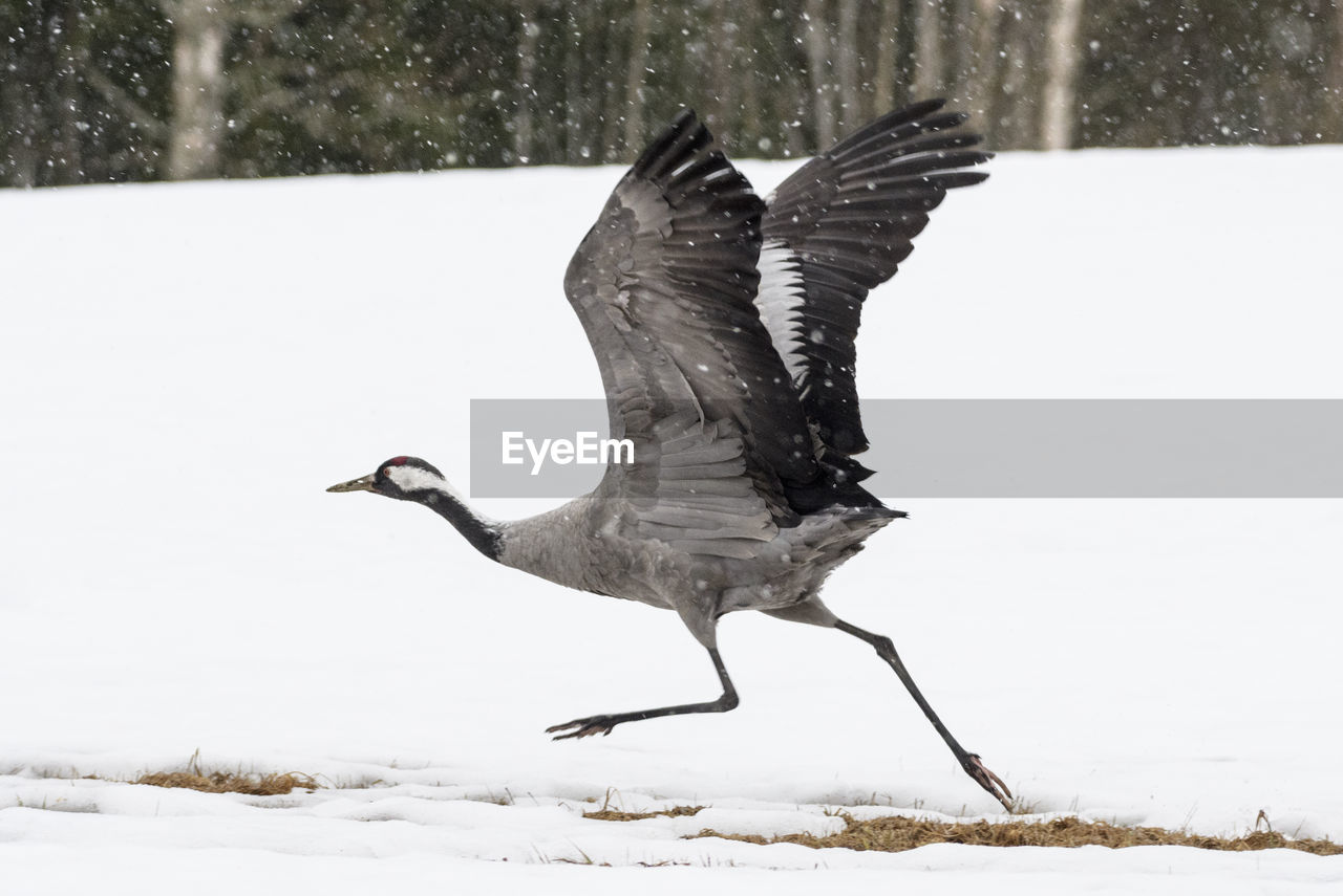 Bird flying over snow covered land