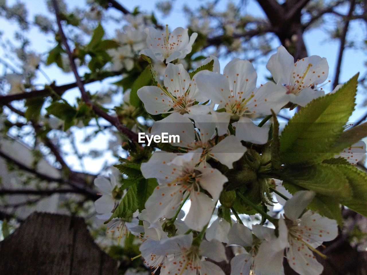 flower, blossom, springtime, fragility, apple blossom, apple tree, tree, branch, beauty in nature, white color, growth, cherry blossom, orchard, freshness, botany, almond tree, petal, nature, stamen, cherry tree, twig, pollen, flower head, no people, close-up, day, low angle view, selective focus, plum blossom, outdoors, blooming, sky