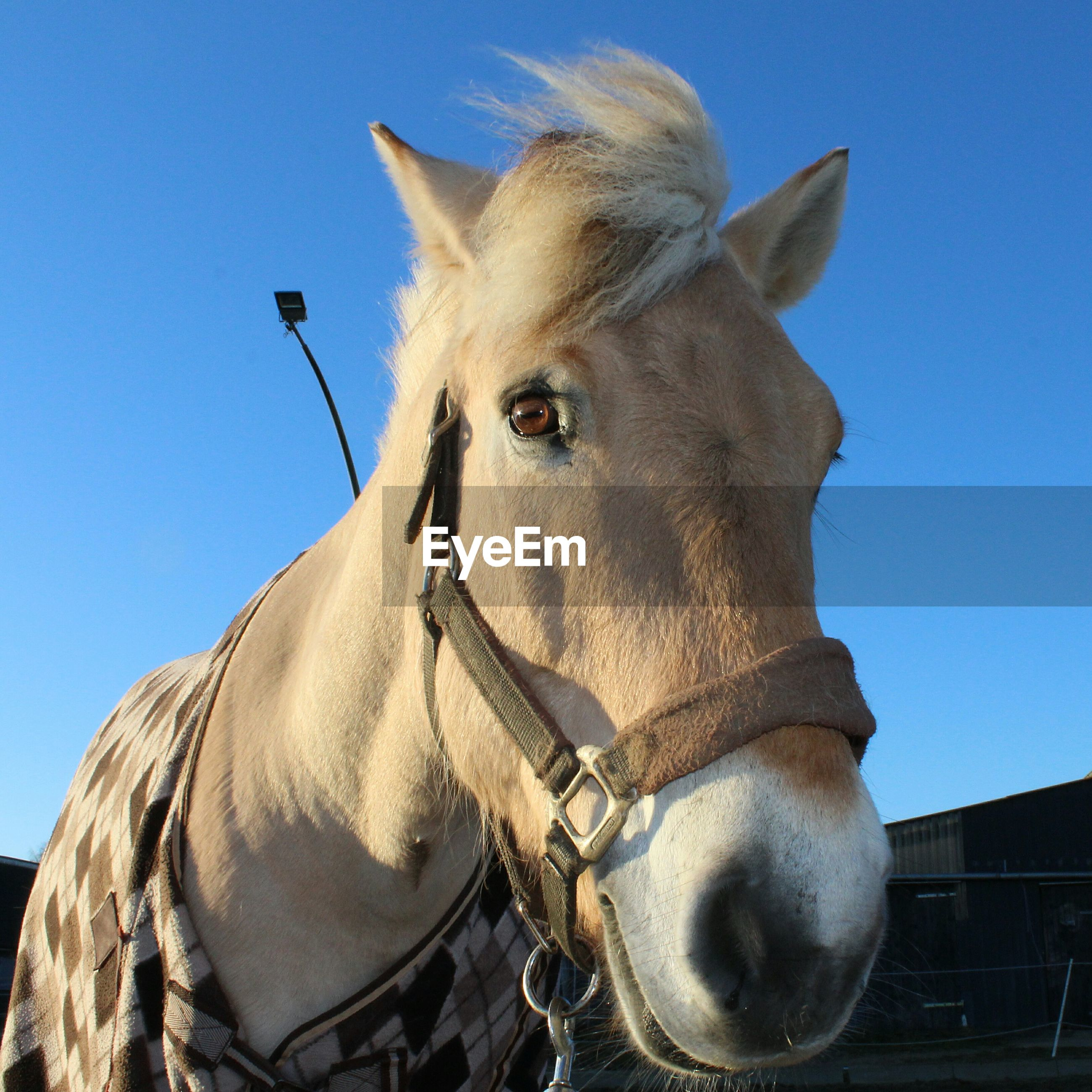 animal themes, domestic animals, one animal, mammal, horse, clear sky, livestock, animal head, working animal, blue, low angle view, herbivorous, sky, sunlight, animal body part, close-up, outdoors, no people, day, bridle