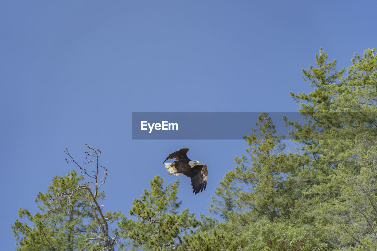 vertebrate, animal, animal wildlife, animal themes, animals in the wild, sky, one animal, plant, bird, low angle view, tree, clear sky, flying, no people, blue, copy space, nature, day, spread wings, mid-air, outdoors