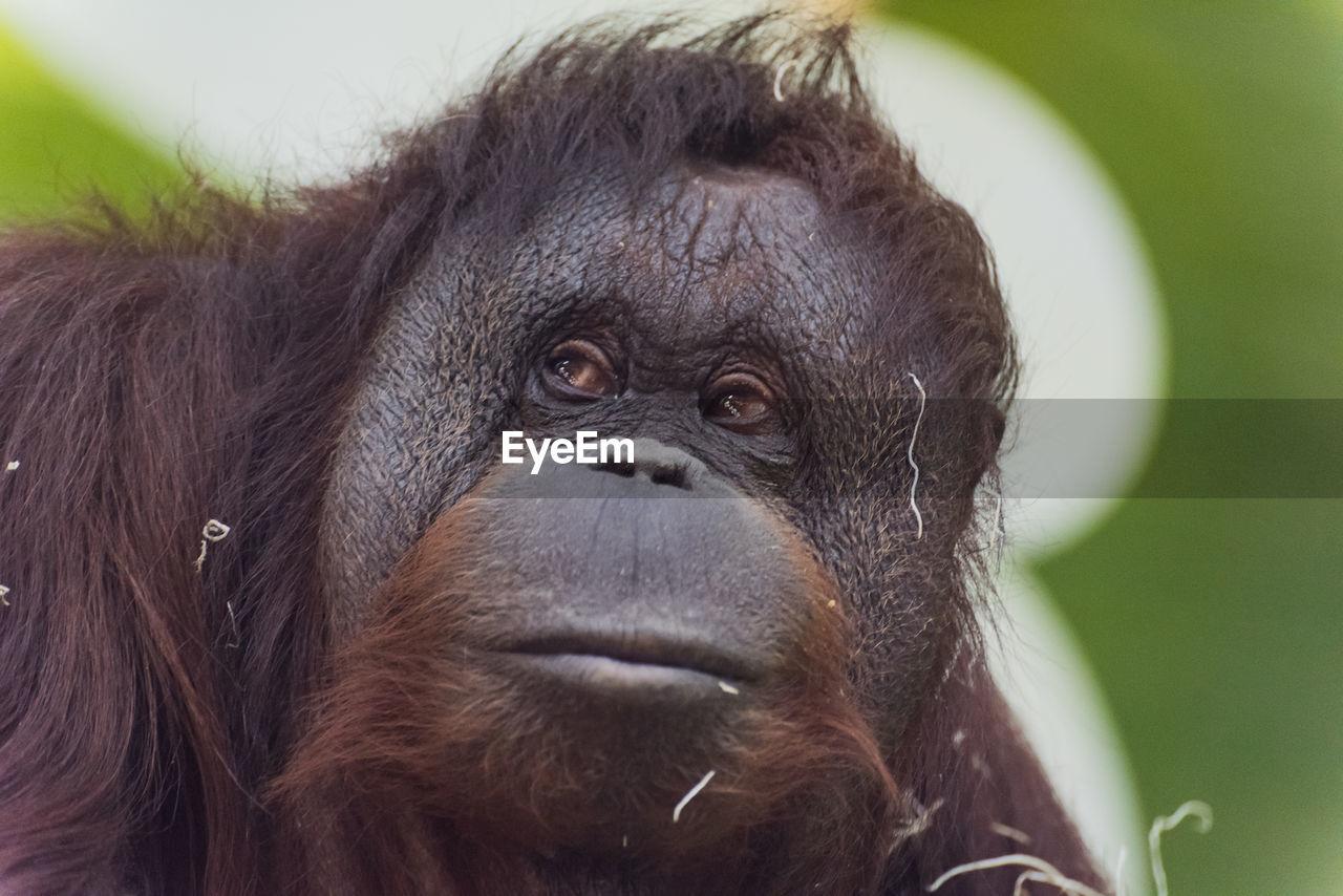 Close-up of orangutan