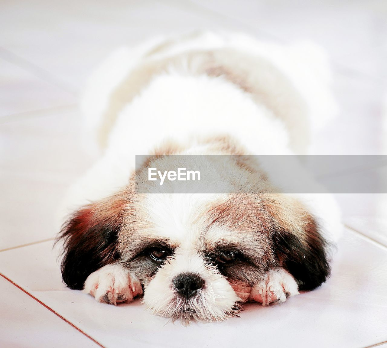 domestic, pets, domestic animals, mammal, dog, canine, one animal, animal themes, animal, relaxation, vertebrate, indoors, no people, close-up, young animal, lap dog, puppy, resting, portrait, looking at camera, small, shih tzu, animal head