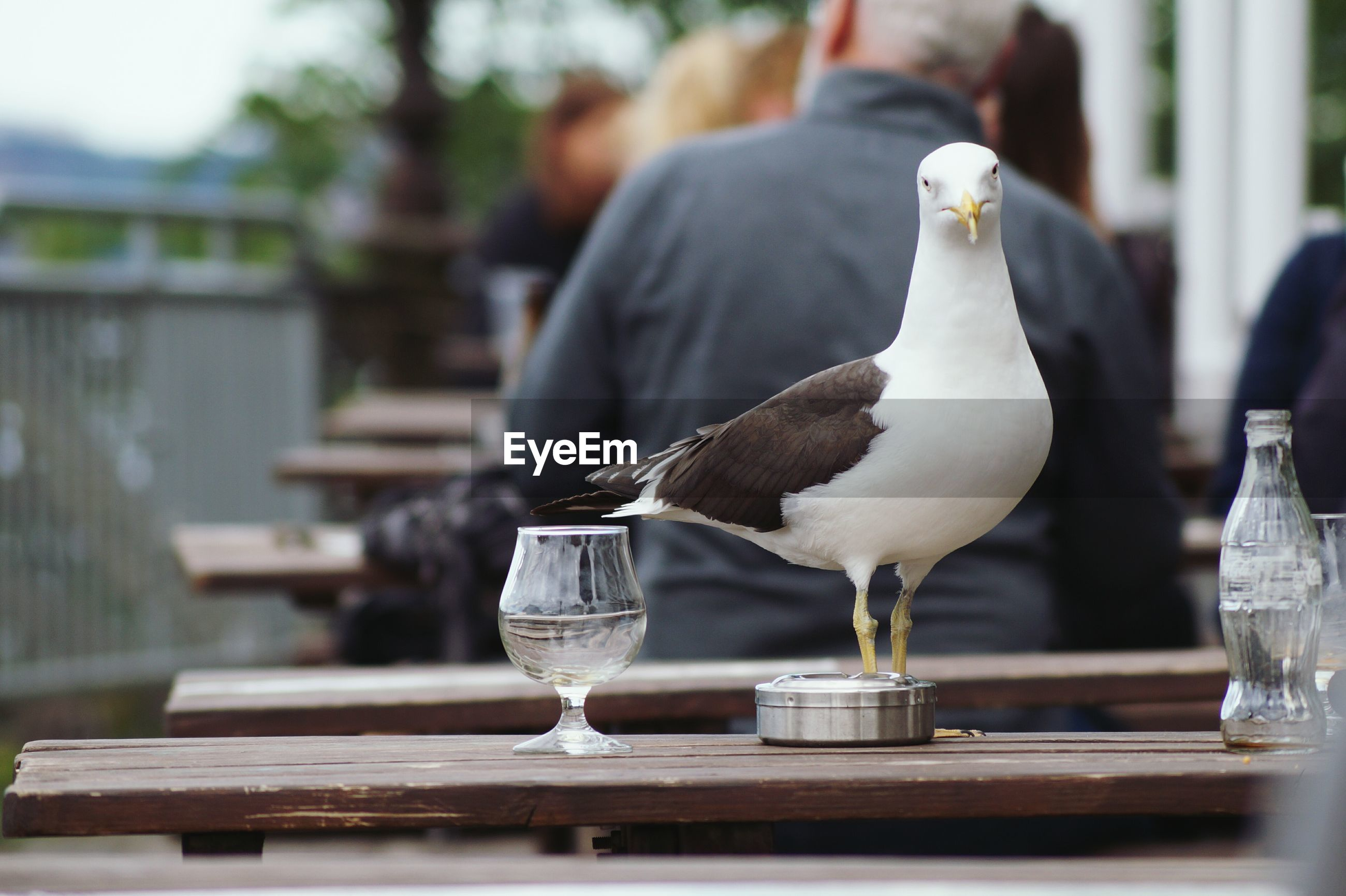 Seagull perching on table at restaurant