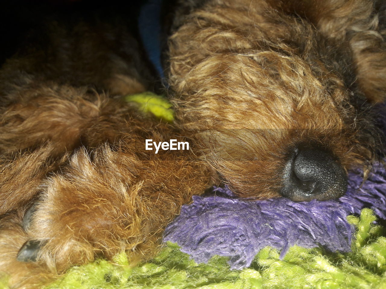 dog, pets, one animal, domestic animals, animal themes, mammal, lying down, no people, close-up, indoors, day