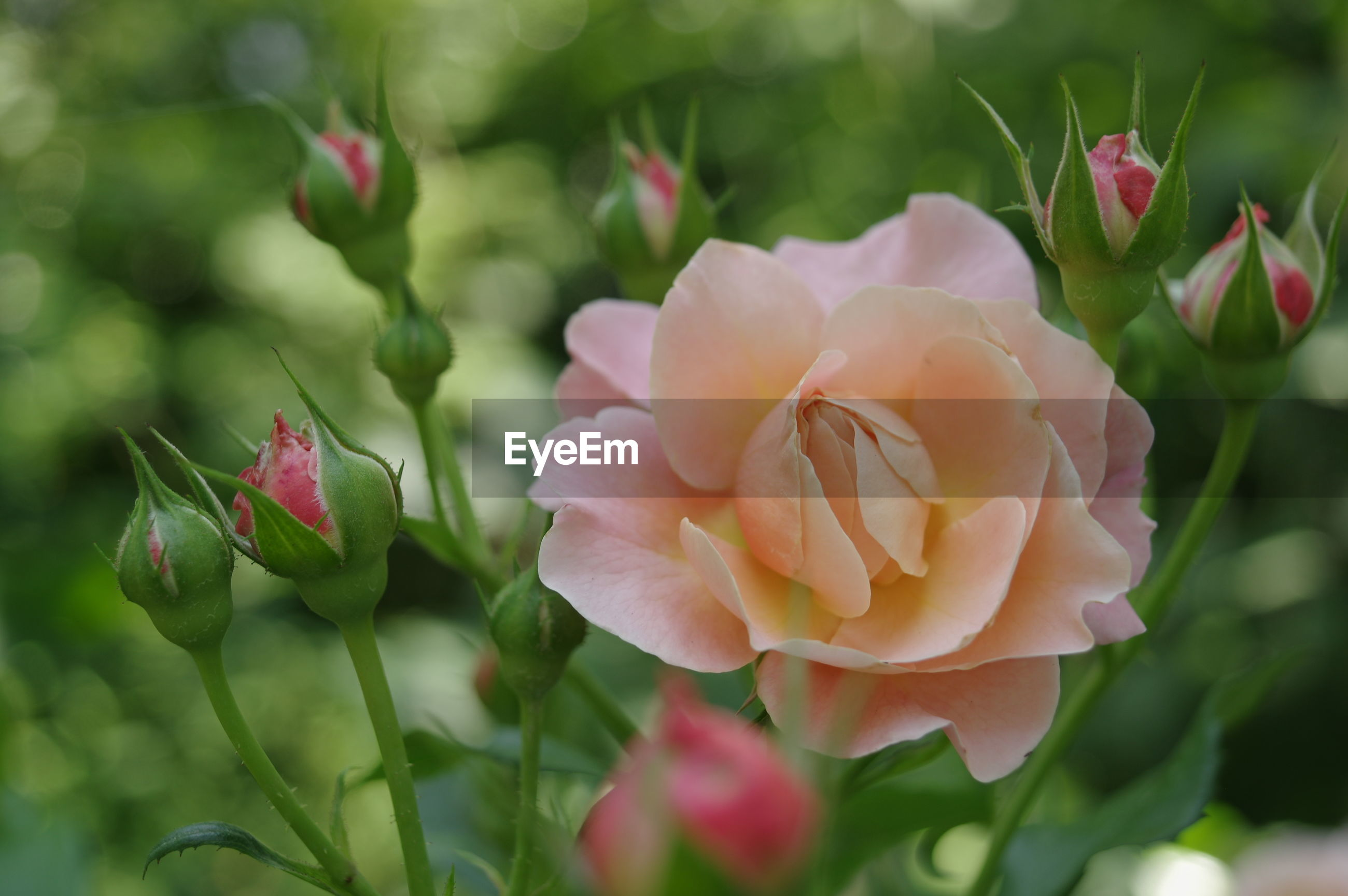 flower, petal, freshness, fragility, flower head, growth, beauty in nature, focus on foreground, close-up, blooming, nature, pink color, plant, leaf, rose - flower, in bloom, bud, park - man made space, day, outdoors