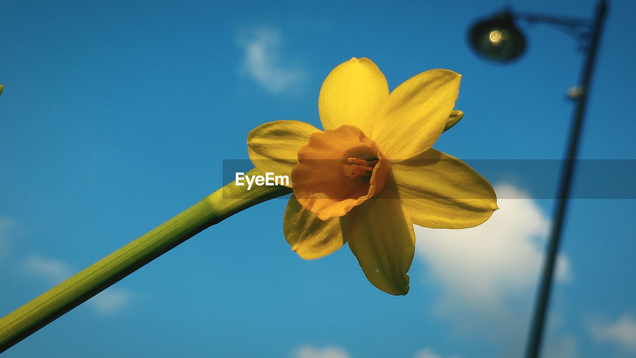 Low angle view of daffodil against blue sky