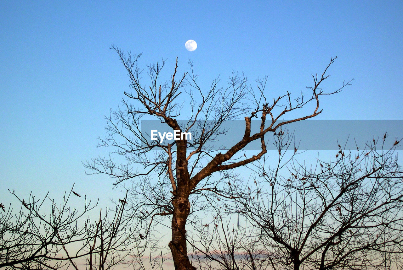 moon, bare tree, low angle view, branch, tree, nature, clear sky, sky, outdoors, beauty in nature, no people, day, blue, half moon, astronomy, bird