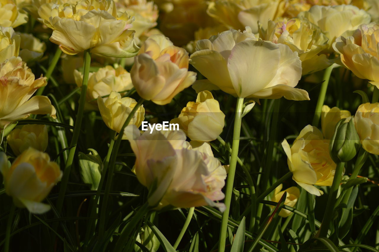 flower, flowering plant, plant, freshness, beauty in nature, petal, vulnerability, fragility, close-up, flower head, growth, inflorescence, yellow, nature, white color, no people, land, field, selective focus, day, bouquet