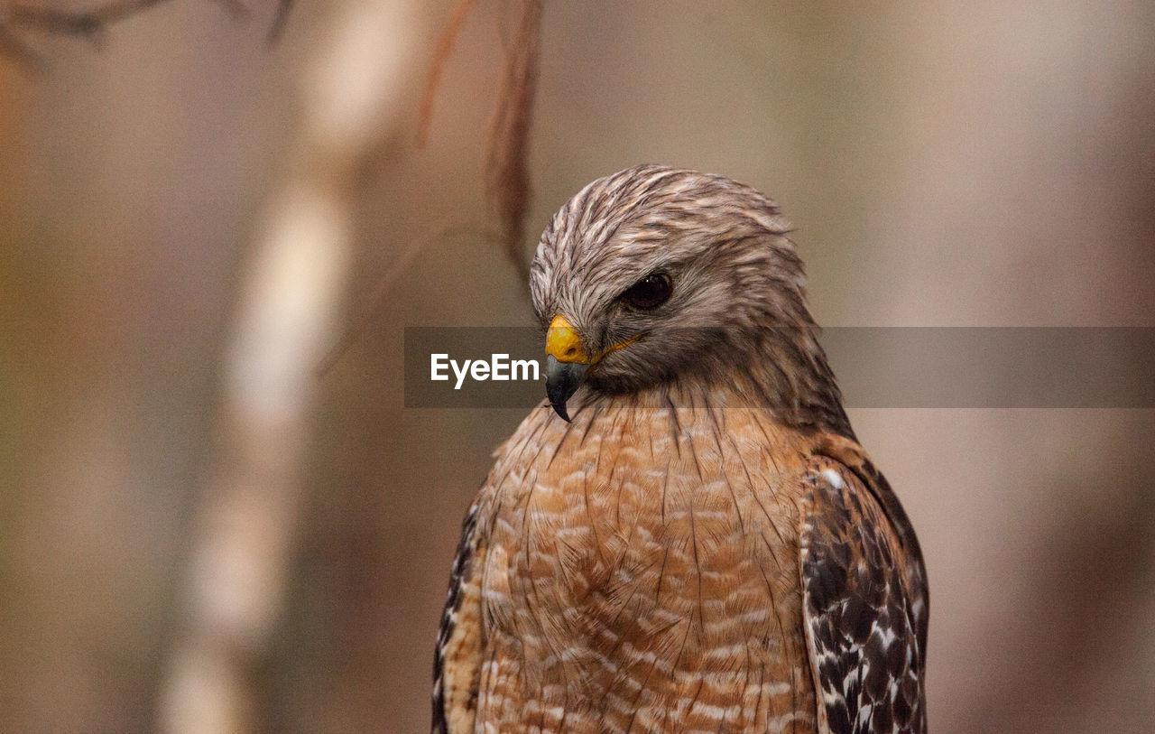 one animal, bird, animal themes, animal, animals in the wild, animal wildlife, bird of prey, vertebrate, focus on foreground, close-up, day, no people, falcon - bird, outdoors, nature, animal body part, looking, looking away, beak, perching, animal head, yellow eyes, eagle, animal eye