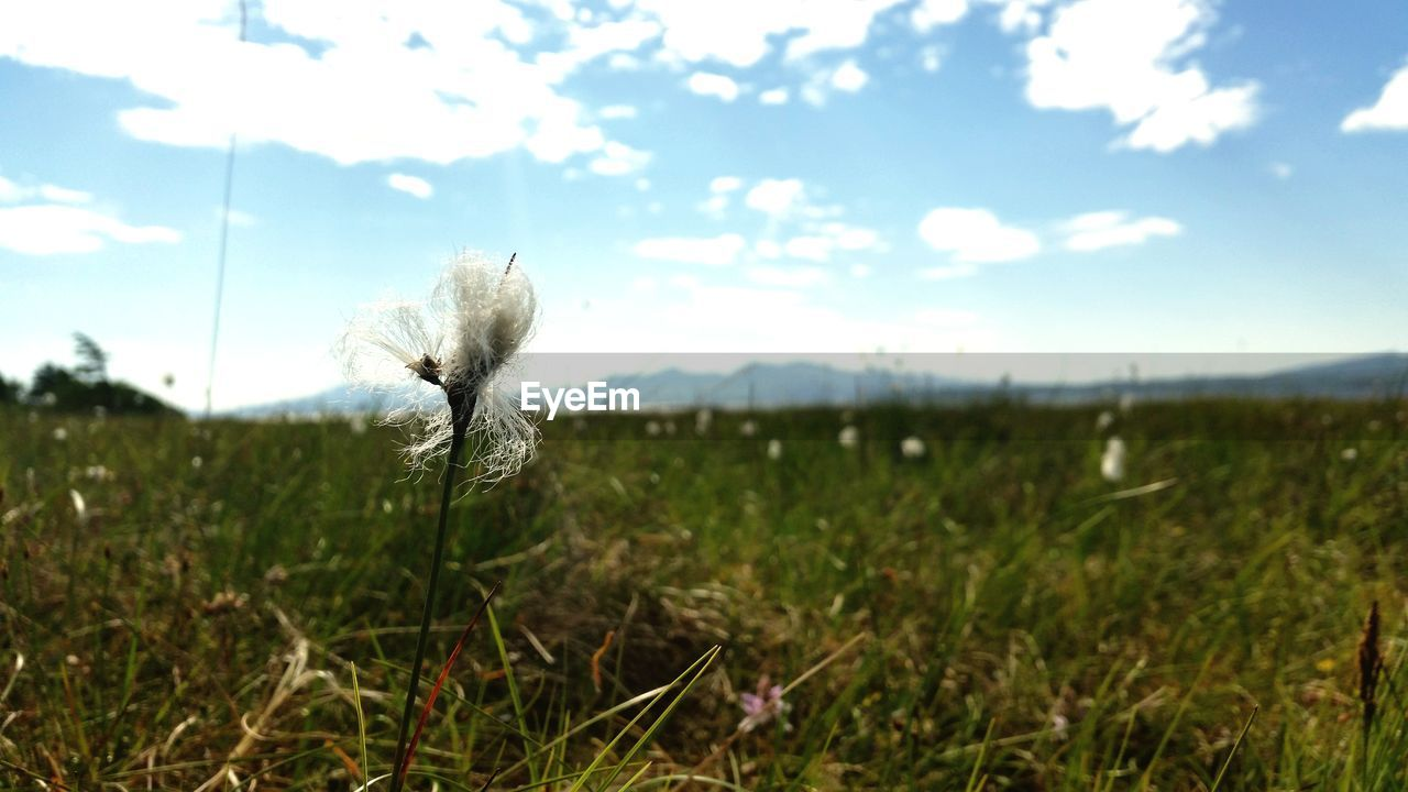 flower, nature, field, growth, grass, fragility, beauty in nature, plant, outdoors, focus on foreground, sky, flower head, no people, freshness, day, rural scene, close-up