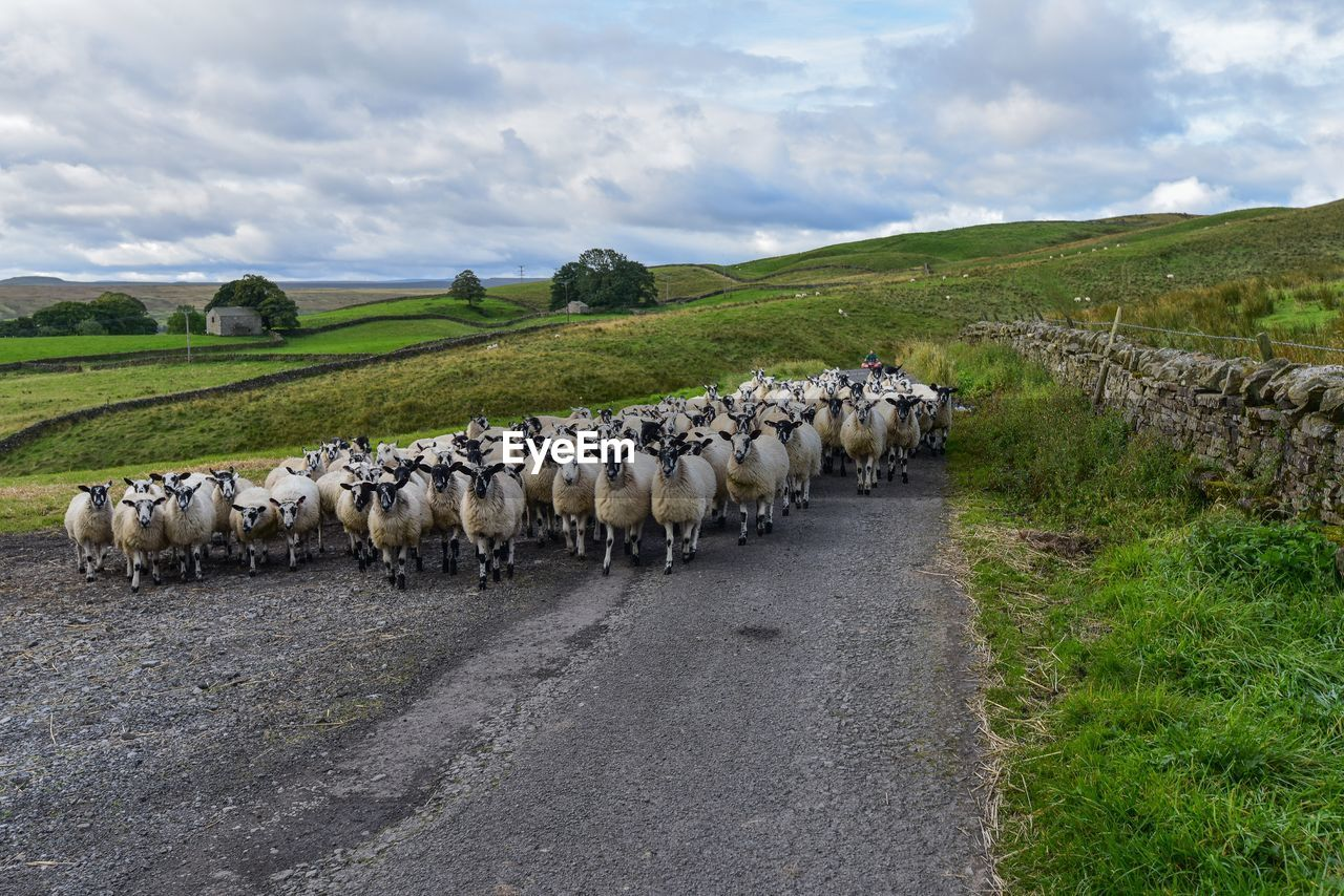 mammal, domestic animals, animal, domestic, livestock, animal themes, pets, group of animals, cloud - sky, sheep, large group of animals, grass, vertebrate, landscape, sky, field, flock of sheep, road, plant, environment, no people, herd, herbivorous