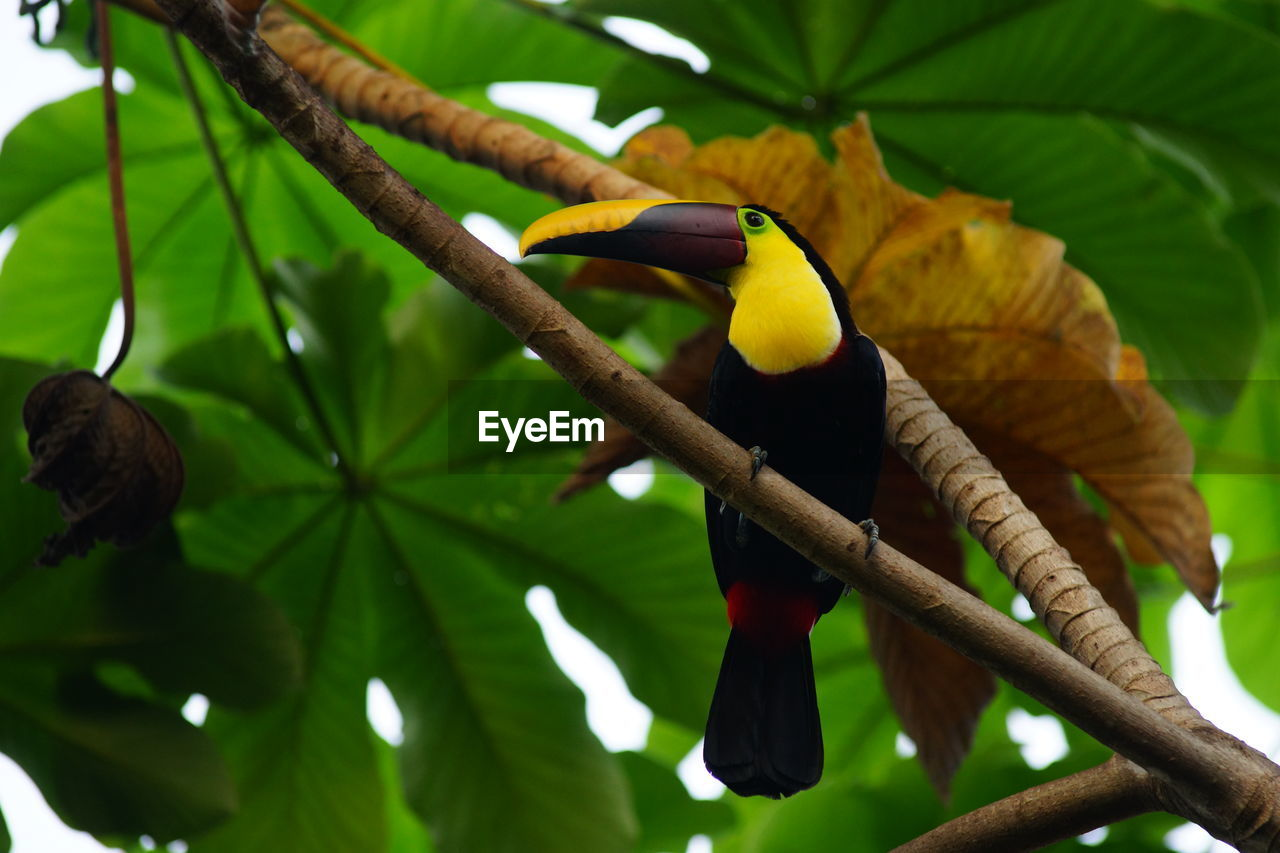 Low angle view of toucan perching on branch