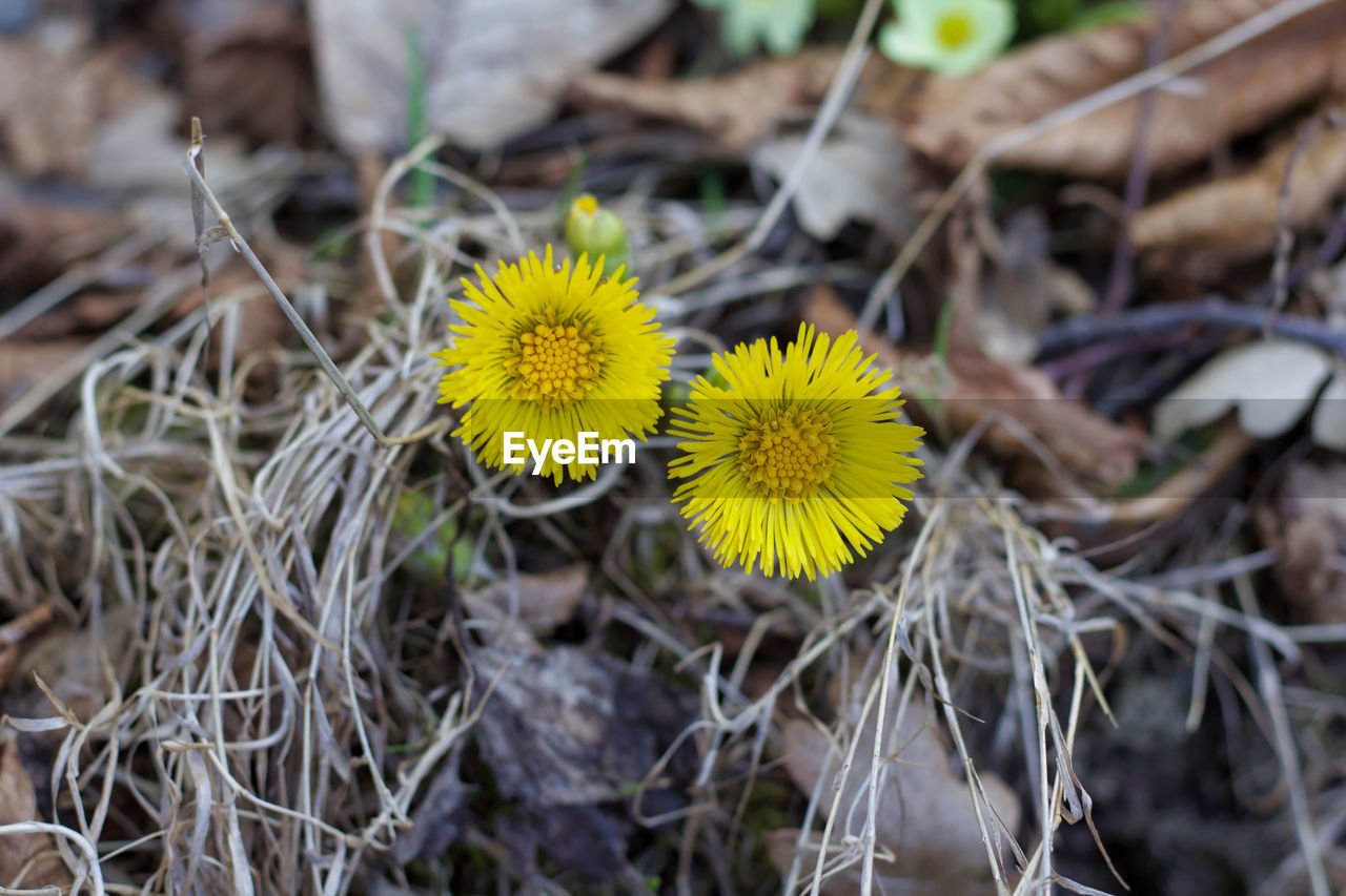 flower, flowering plant, yellow, plant, vulnerability, fragility, growth, close-up, freshness, beauty in nature, nature, flower head, selective focus, day, inflorescence, petal, land, field, no people, high angle view, outdoors, pollen