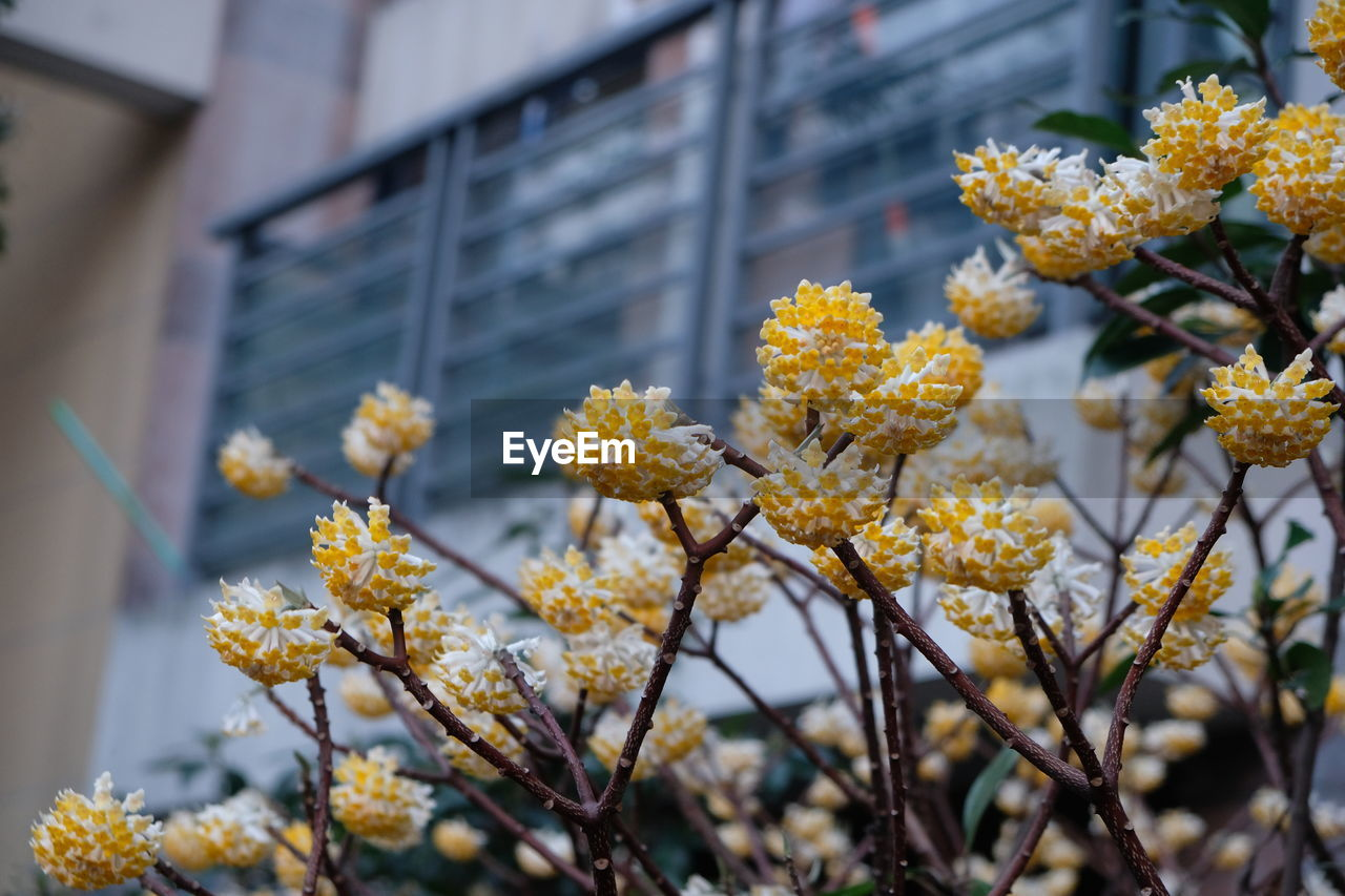 Low Angle View Of Yellow Flowers Blooming On Tree