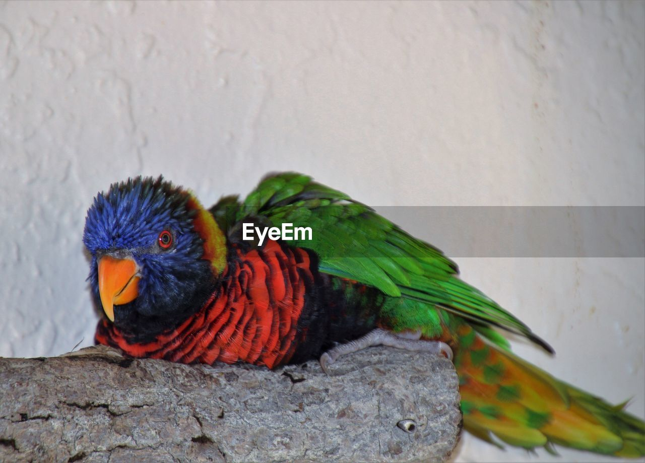 animal themes, animal, animal wildlife, vertebrate, bird, animals in the wild, parrot, rainbow lorikeet, multi colored, group of animals, no people, two animals, close-up, wall - building feature, day, nature, perching, outdoors, solid, animal family
