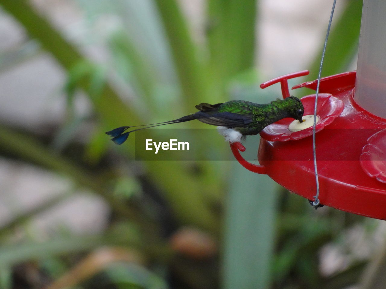animal themes, animal, animals in the wild, one animal, animal wildlife, focus on foreground, bird, hummingbird, close-up, vertebrate, red, day, invertebrate, perching, no people, nature, plant, food, insect, green color